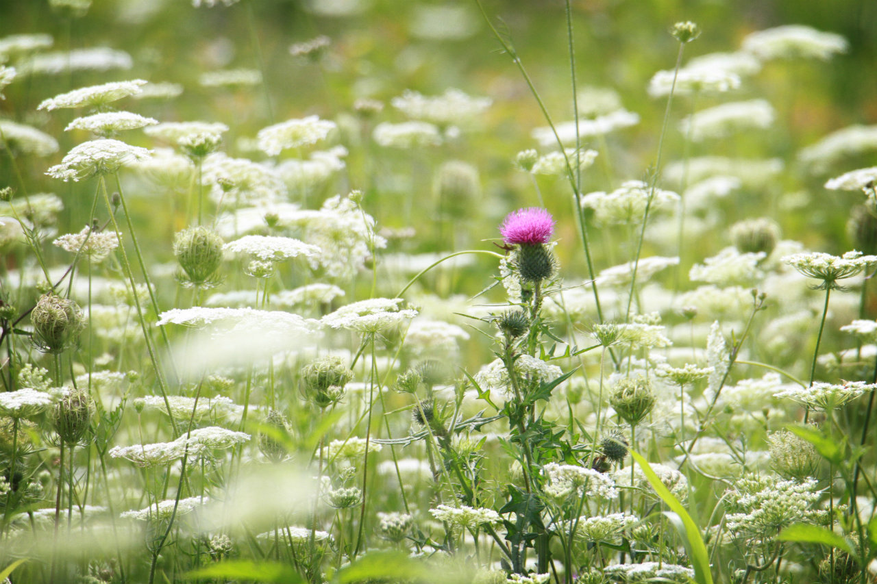Purple in a field of white (photo)